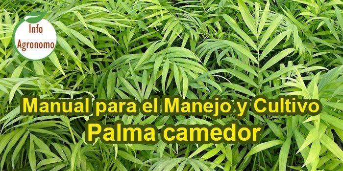 Manejo de la Palma camedor