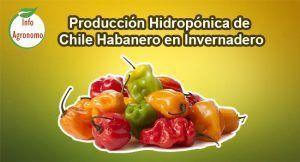 Chile habanero en invernadero