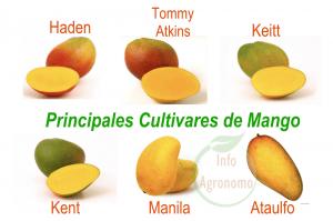 Cultivares de Mango