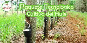 Cultivo de Hule