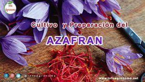 Guia de cultivo de azafran