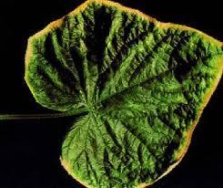 toxicidad de boro en las plantas