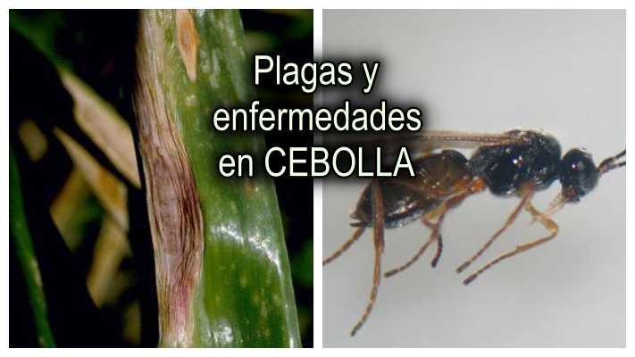Plagas y enfermedades del cultivo de cebolla
