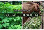 Variedades de Yuca Forrajera