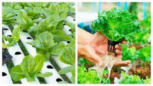 Cultivo de lechuga hidroponica NFT