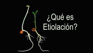 Que es la etiolación
