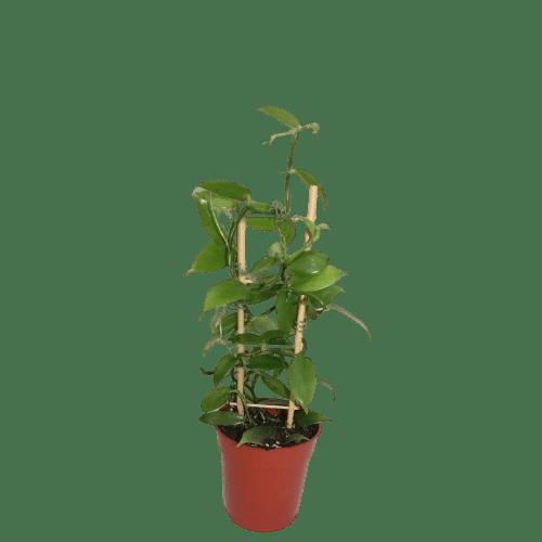 Plantas de vainilla de Papantla