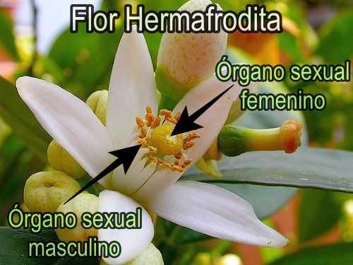Citricos, ejemplos de flores hermafroditas