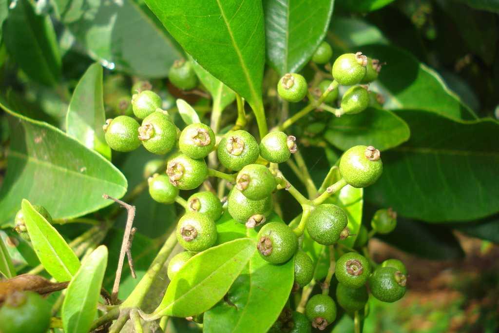 ejemplos de plantas dioicas