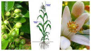 Plantas dioicas, monoicas, hermafroditas ejemplos