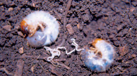 Nematodos benéficos para el control de plagas del suelo