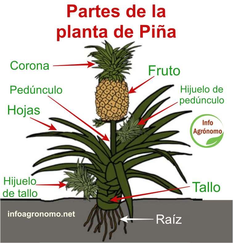Partes de una planta de piña