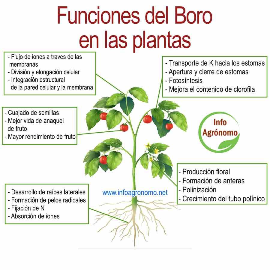 Funciones del boro en las plantas