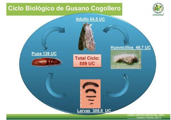 ciclo de vida de Spodoptera frugiperda