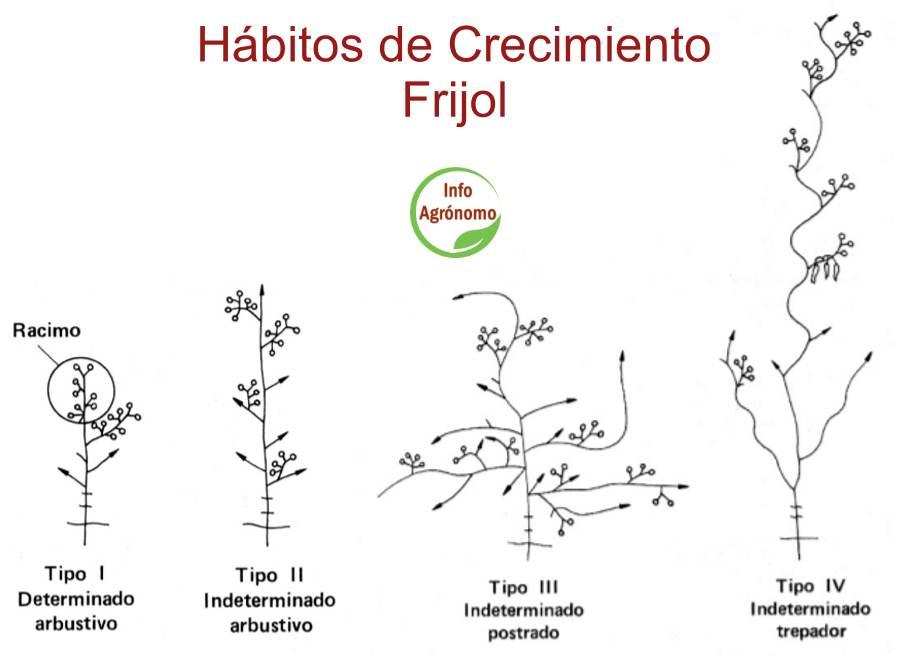 Habitos de crecimiento Phaseolus
