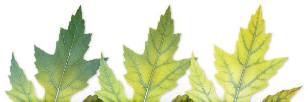 Clorosis por deficiencia de Hierro en las plantas
