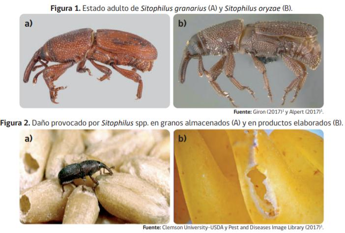 Especies de gorgojos y sus daños