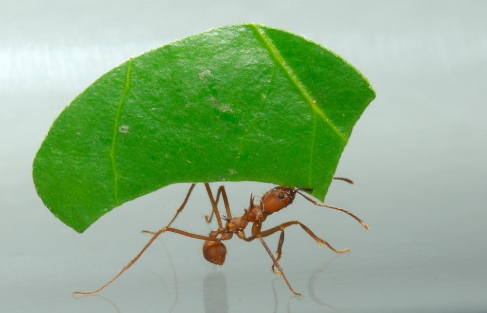 Control de hormigas arrieras