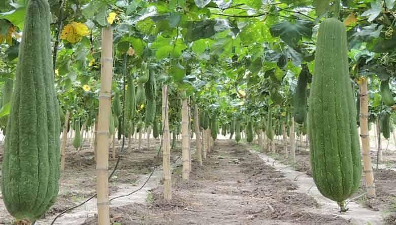 Cómo Cultivar Luffa Esponjas Vegetales Para El Aseo Y Limpieza Infoagronomo
