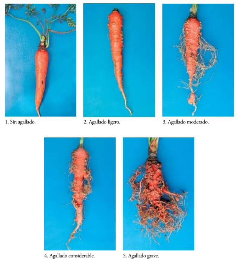 Daños del nematodo agallador en zanahoria