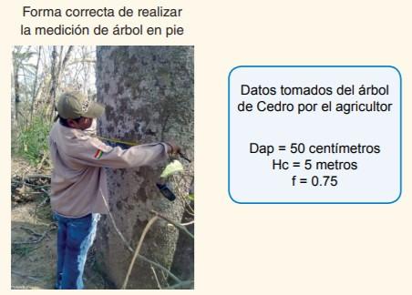 ómo medir el volumen de un árbol